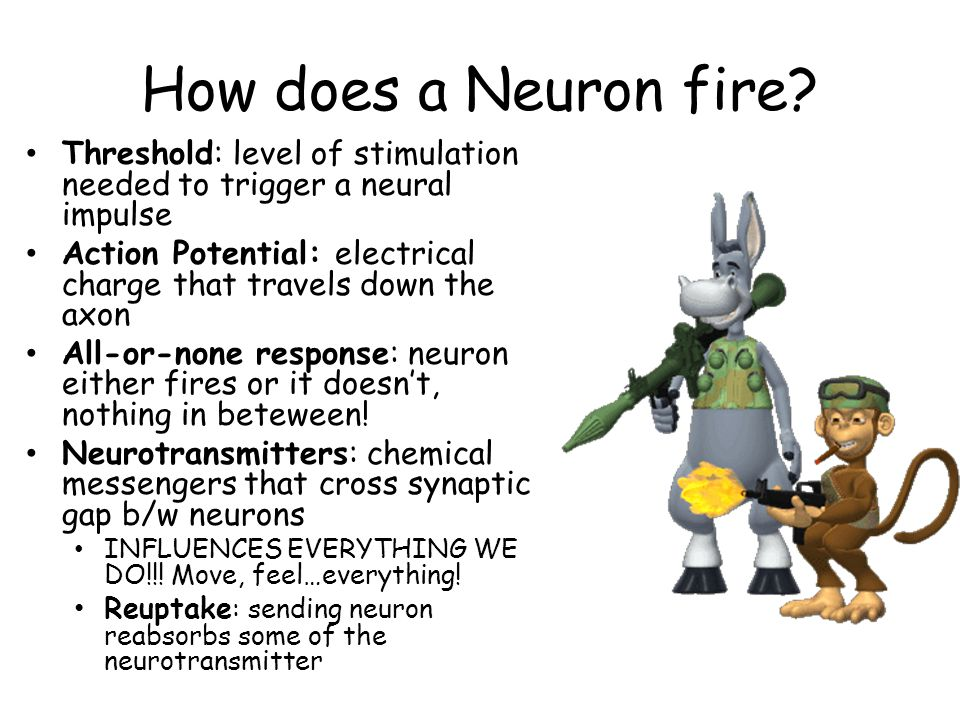 How does a Neuron fire? Threshold: level of stimulation needed to trigger a neural impulse Action Potential: electrical charge that travels down the a