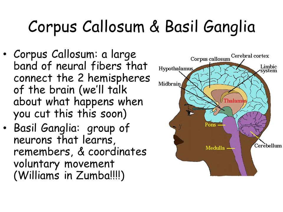 Corpus Callosum & Basil Ganglia Corpus Callosum: a large band of neural fibers that connect the 2 hemispheres of the brain (well talk about what happe