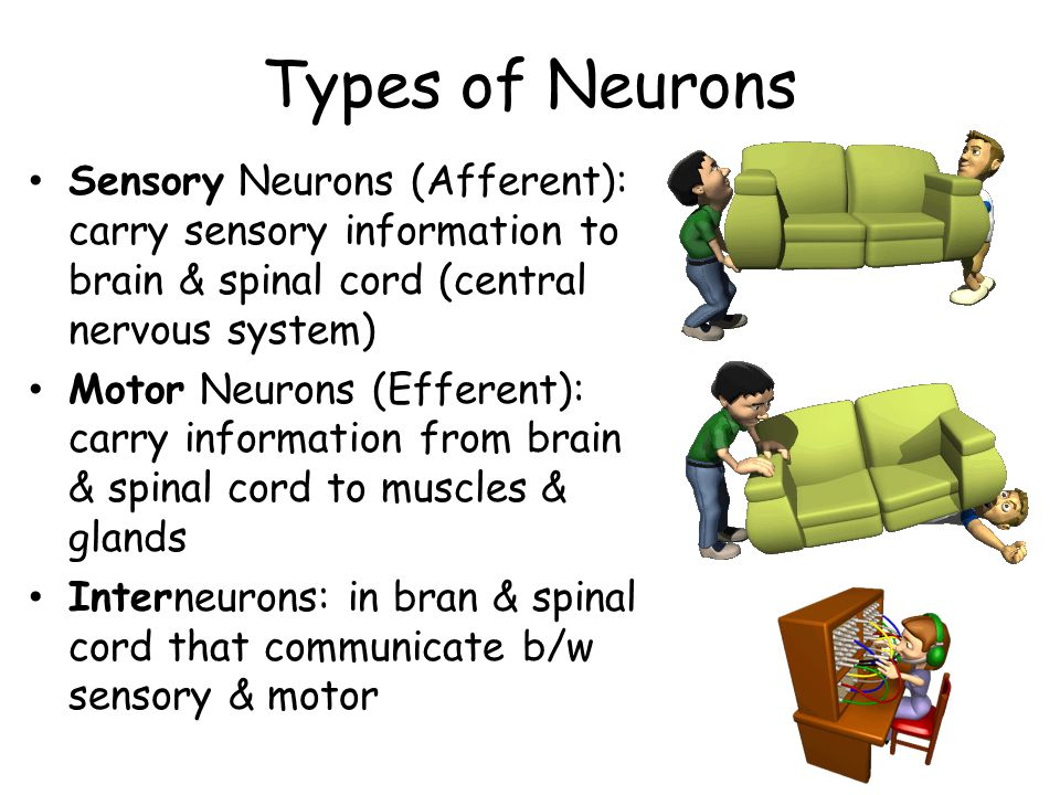Types of Neurons Sensory Neurons (Afferent): carry sensory information to brain & spinal cord (central nervous system) Motor Neurons (Efferent): carry