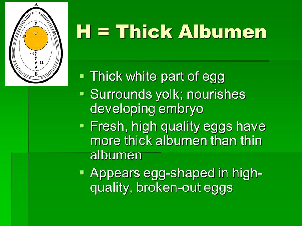 H = Thick Albumen Thick white part of egg Thick white part of egg Surrounds yolk; nourishes developing embryo Surrounds yolk; nourishes developing emb