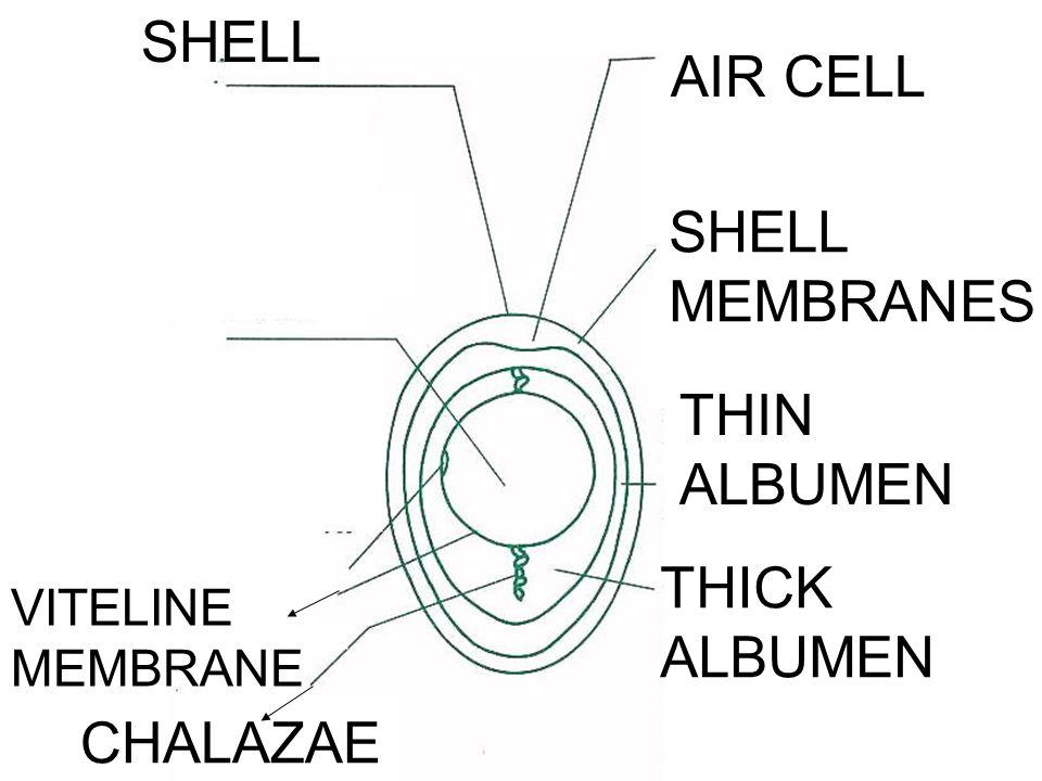 SHELL AIR CELL SHELL MEMBRANES THIN ALBUMEN THICK ALBUMEN CHALAZAE VITELINE MEMBRANE