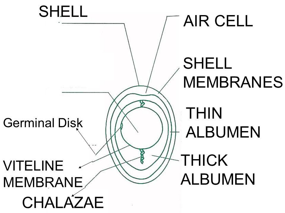 SHELL AIR CELL SHELL MEMBRANES THIN ALBUMEN THICK ALBUMEN CHALAZAE VITELINE MEMBRANE Germinal Disk