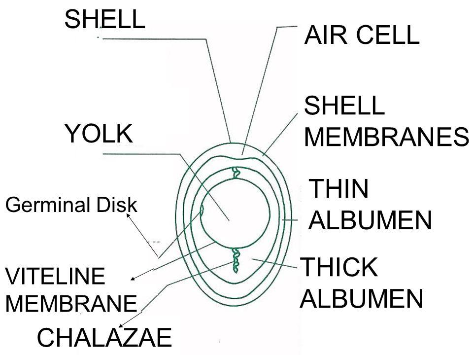 SHELL AIR CELL SHELL MEMBRANES THIN ALBUMEN THICK ALBUMEN CHALAZAE VITELINE MEMBRANE Germinal Disk YOLK