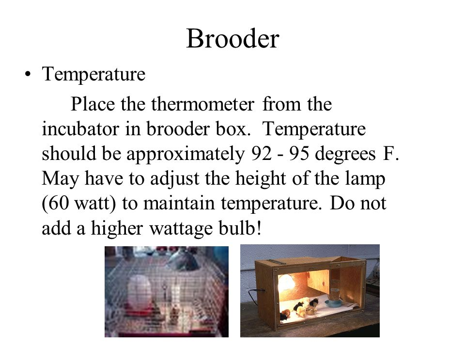 Brooder Temperature Place the thermometer from the incubator in brooder box. Temperature should be approximately 92 - 95 degrees F. May have to adjust