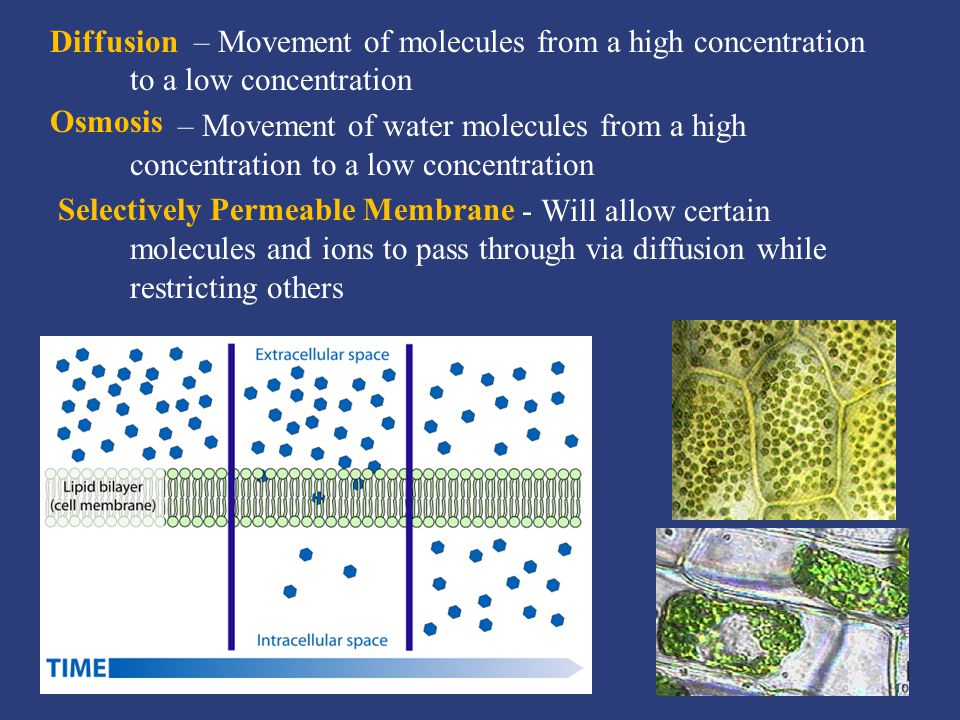 – Movement of molecules from a high concentration to a low concentration – Movement of water molecules from a high concentration to a low concentration - Will allow certain molecules and ions to pass through via diffusion while restricting others Diffusion Osmosis Selectively Permeable Membrane