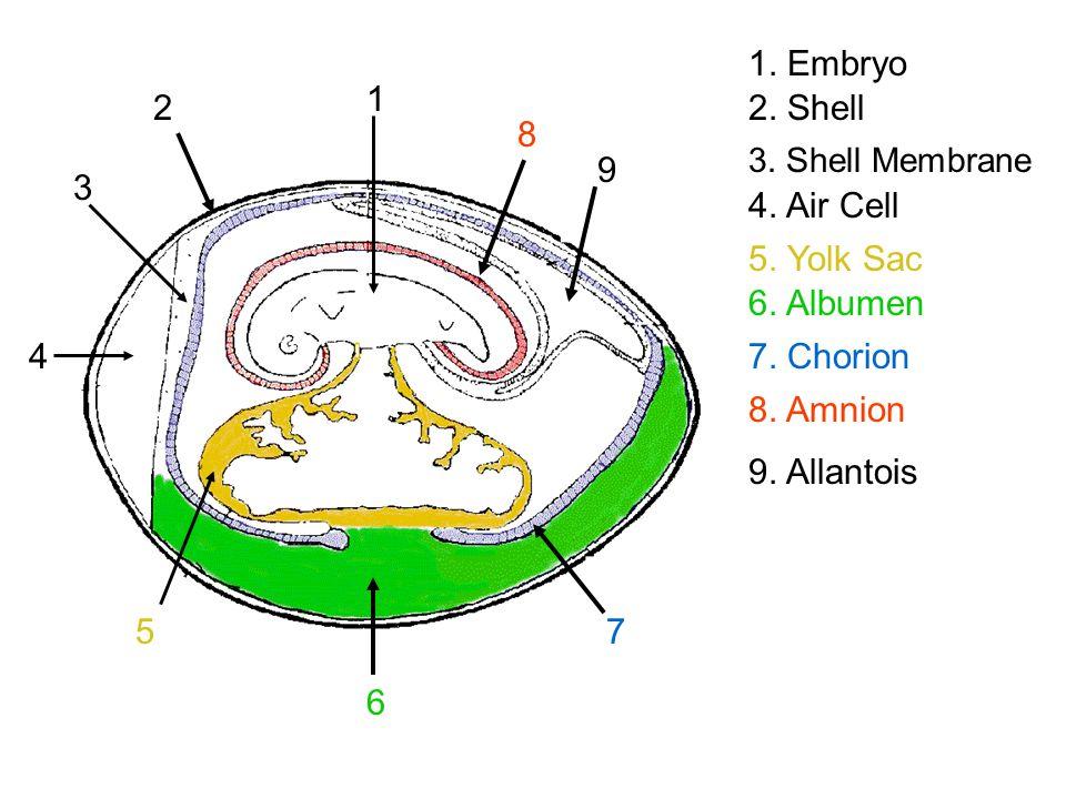 3 2 11.Embryo 2. Shell 3. Shell Membrane 5 5. Yolk Sac 4 4.