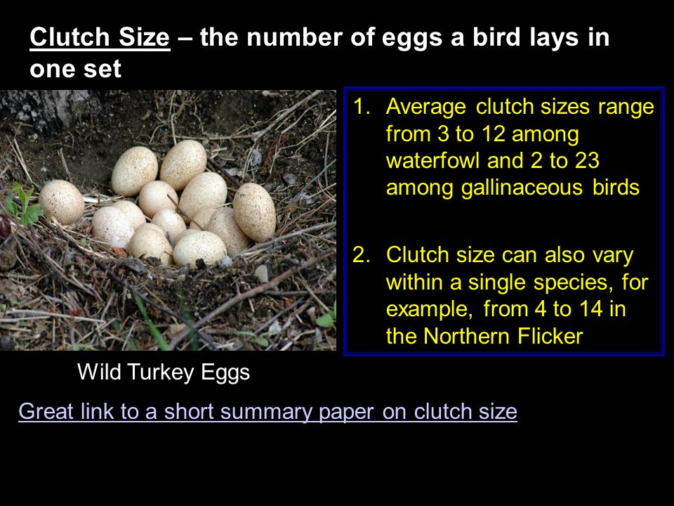 Clutch Size – the number of eggs a bird lays in one set Wild Turkey Eggs 1.Average clutch sizes range from 3 to 12 among waterfowl and 2 to 23 among gallinaceous birds 2.Clutch size can also vary within a single species, for example, from 4 to 14 in the Northern Flicker Great link to a short summary paper on clutch size