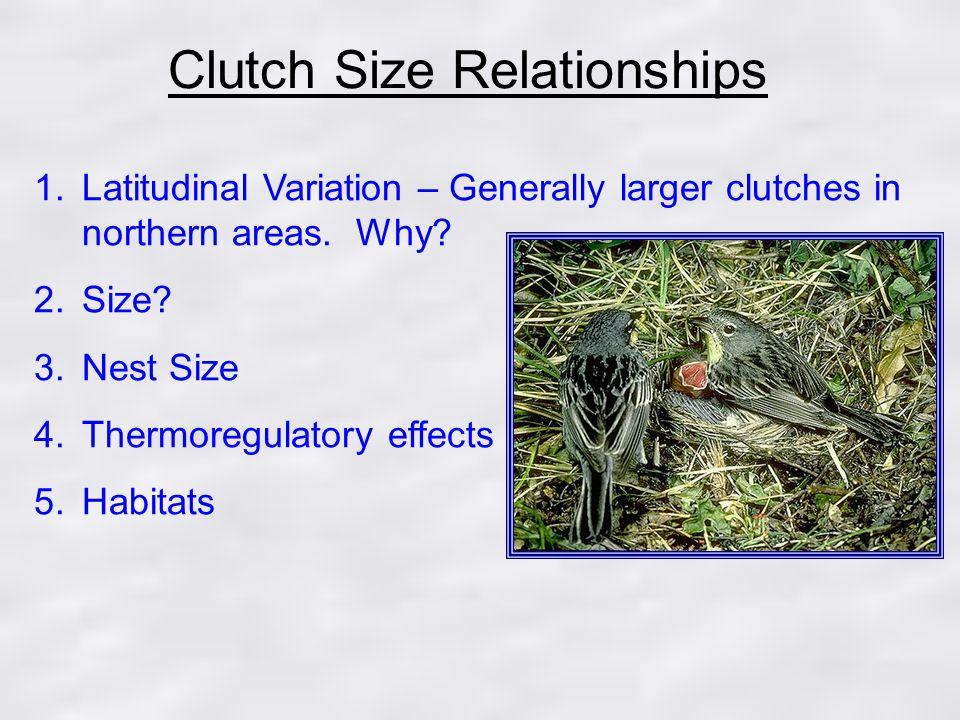 Clutch Size Relationships 1.Latitudinal Variation – Generally larger clutches in northern areas.