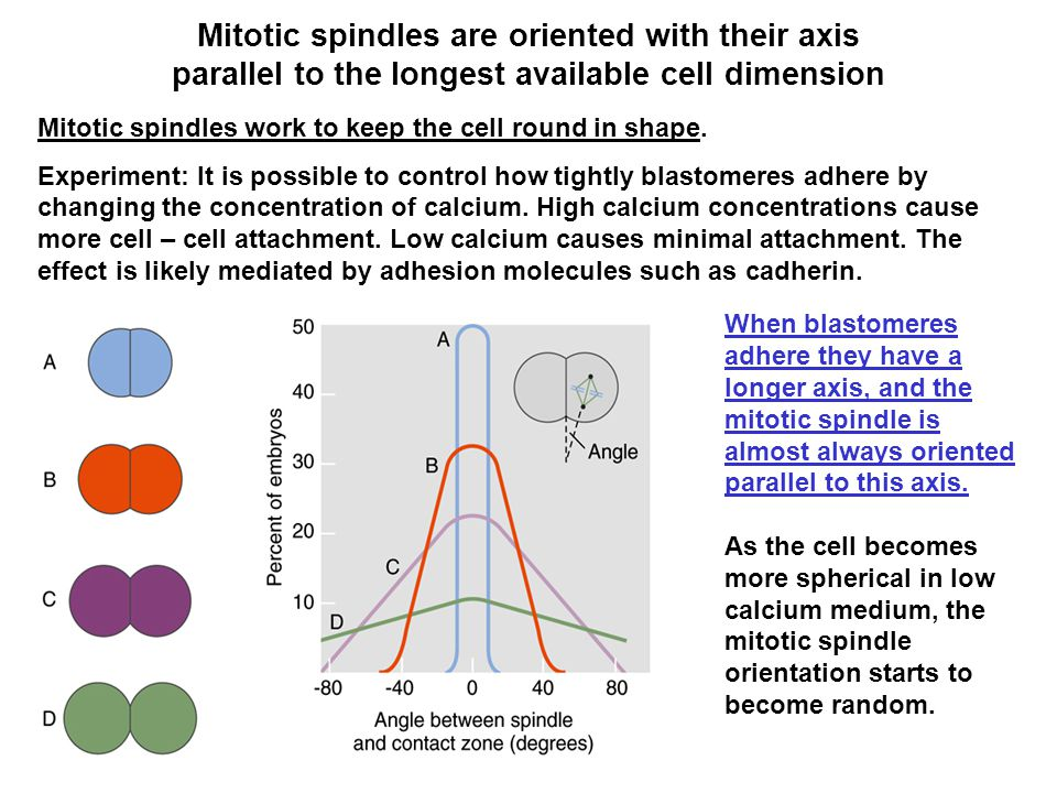 Mitotic spindles are oriented with their axis parallel to the longest available cell dimension Mitotic spindles work to keep the cell round in shape.
