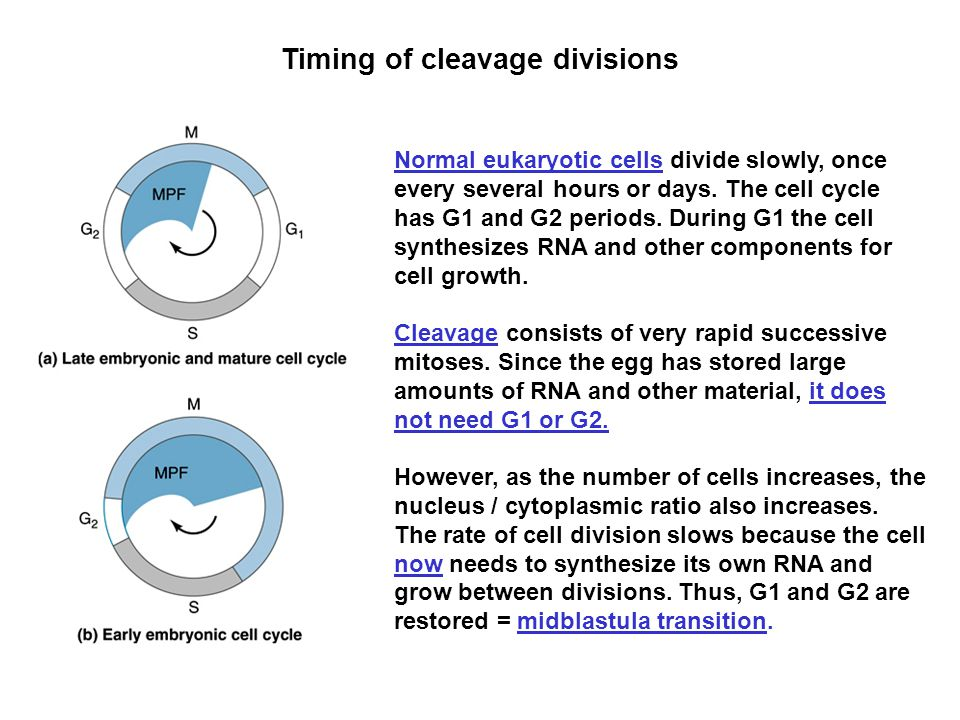 Timing of cleavage divisions Normal eukaryotic cells divide slowly, once every several hours or days. The cell cycle has G1 and G2 periods. During G1