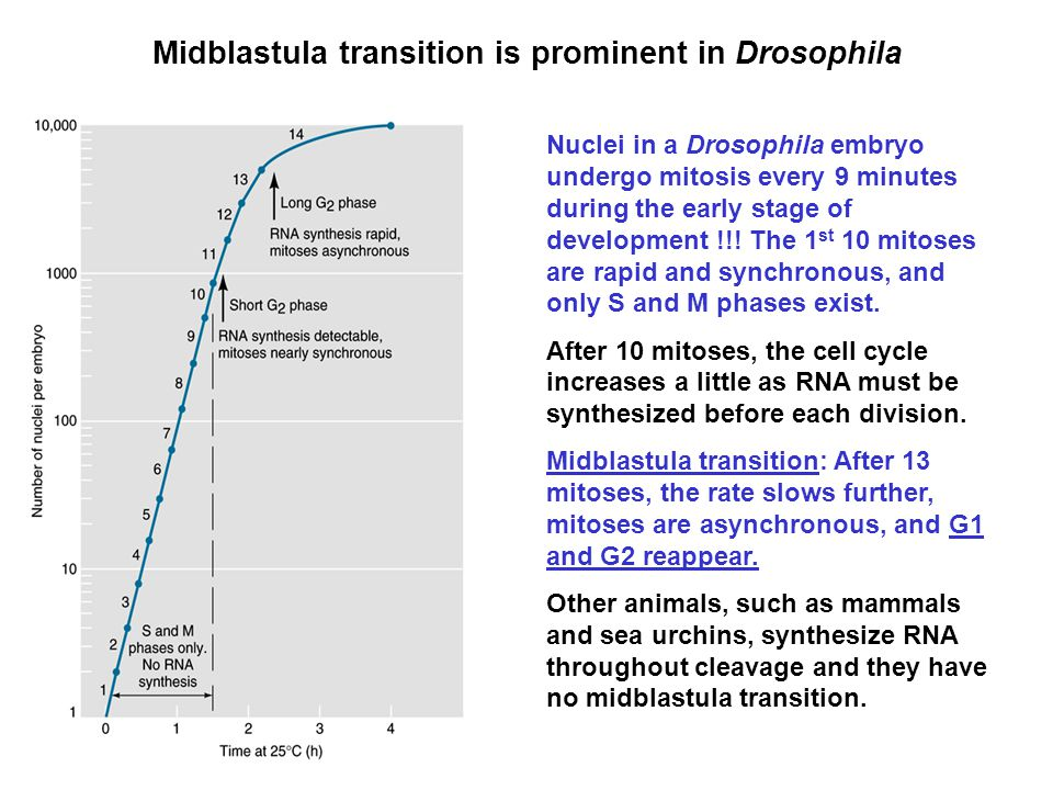 Midblastula transition is prominent in Drosophila Nuclei in a Drosophila embryo undergo mitosis every 9 minutes during the early stage of development