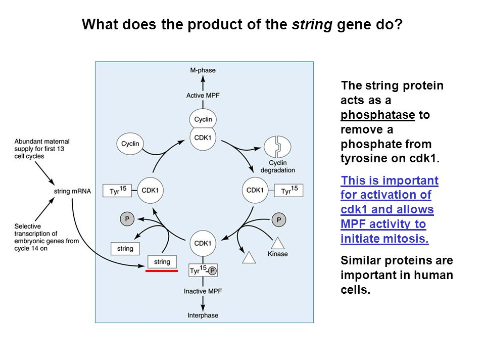 What does the product of the string gene do? The string protein acts as a phosphatase to remove a phosphate from tyrosine on cdk1. This is important f