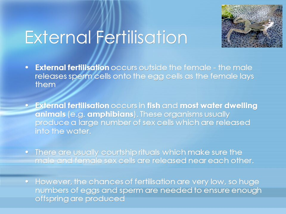 Internal Fertilisation Internal fertilisation occurs inside the female Internal fertilisation occurs in most land dwelling organisms (such as mammals ) - this is necessary as sperm need fluid in order to be able to swim to the egg (the fluid comes from semen, ejaculated along with the sperm from the male).