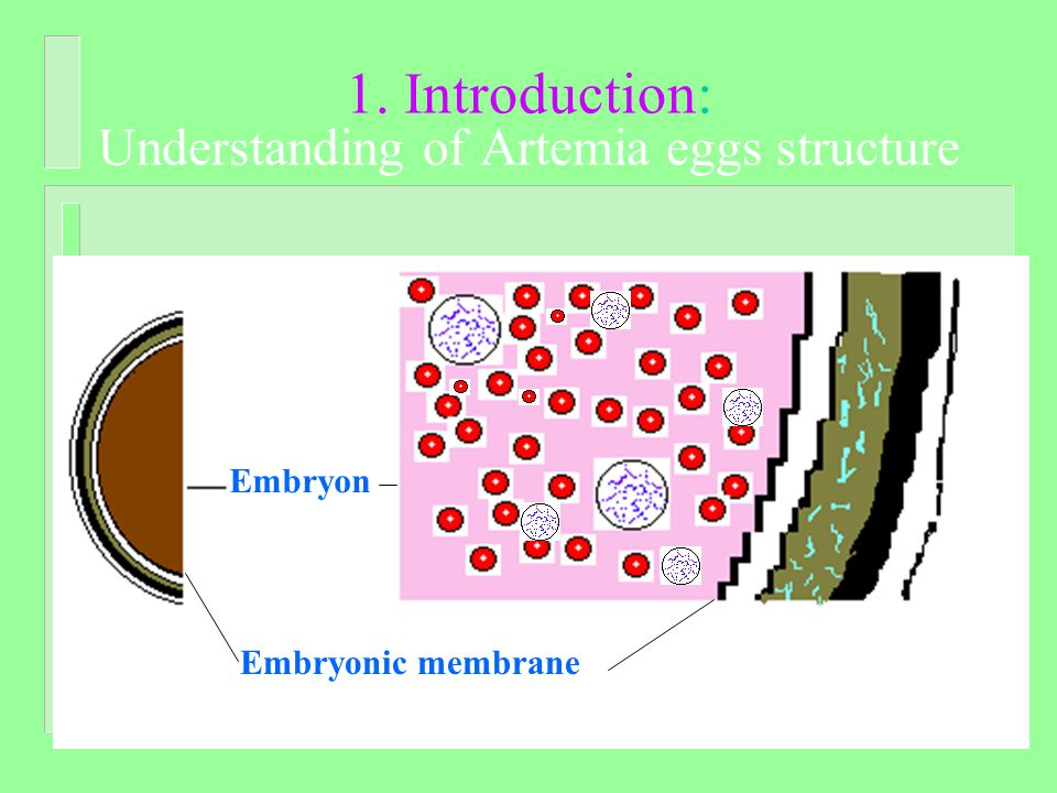 1. Introduction: Understanding of Artemia eggs structure Embryon Embryonic membrane
