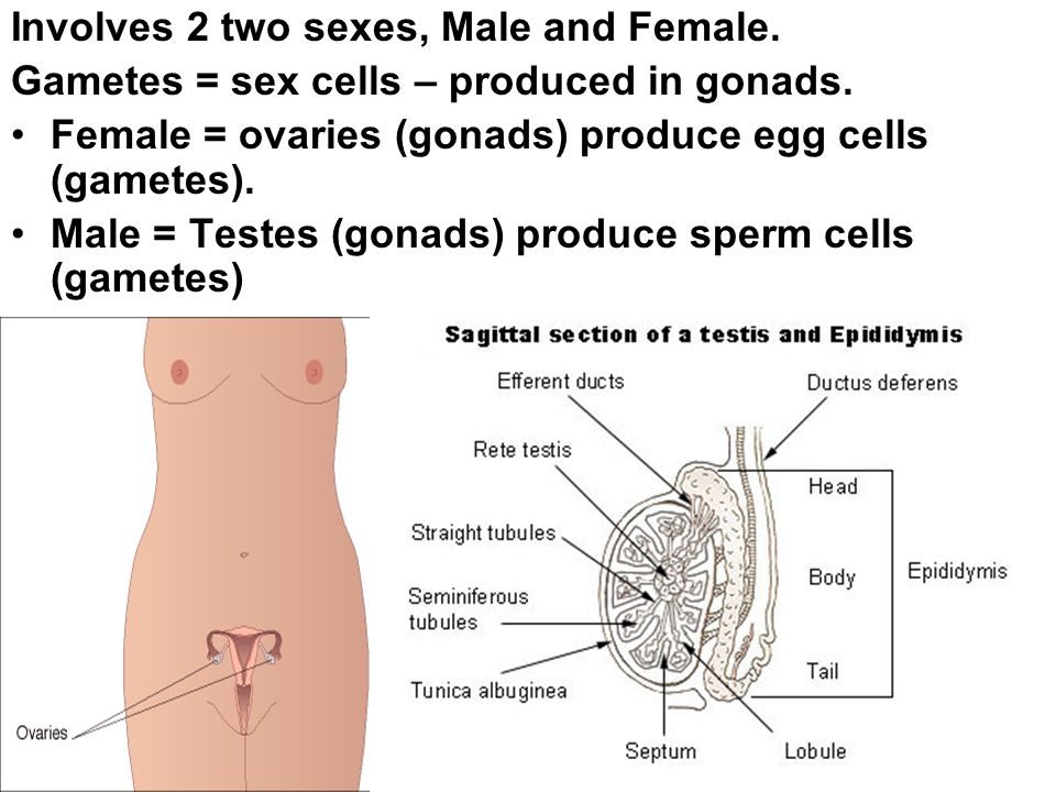 Involves 2 two sexes, Male and Female. Gametes = sex cells – produced in gonads. Female = ovaries (gonads) produce egg cells (gametes). Male = Testes