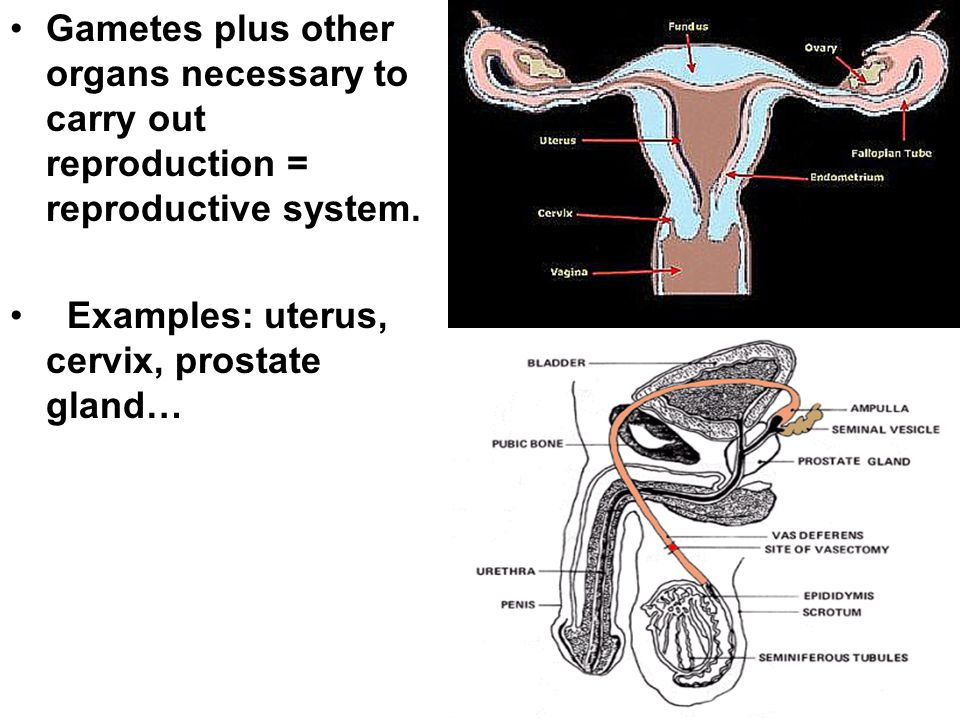 Gametes plus other organs necessary to carry out reproduction = reproductive system. Examples: uterus, cervix, prostate gland…