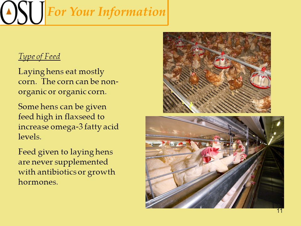 11 For Your Information Type of Feed Laying hens eat mostly corn.