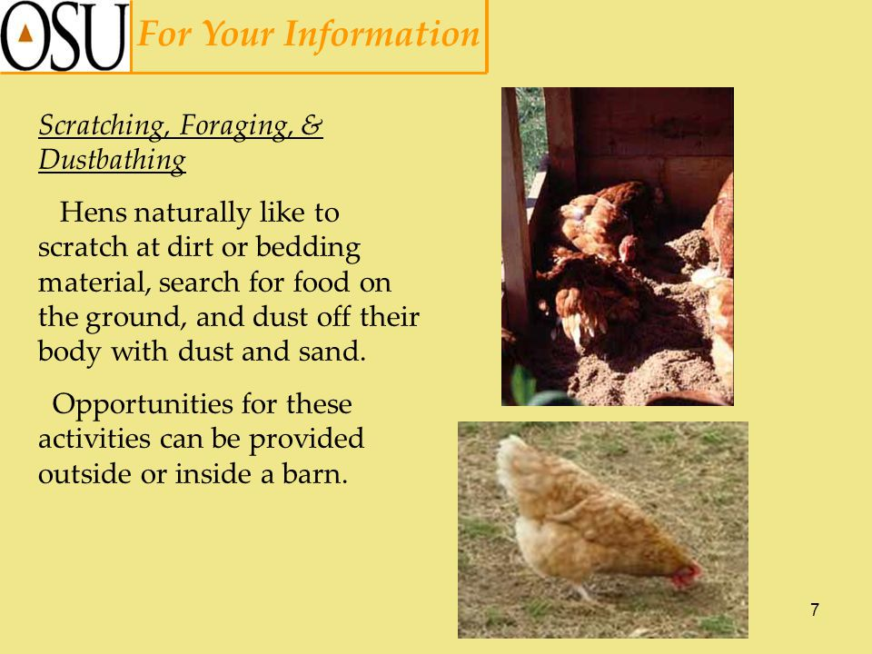 7 For Your Information Scratching, Foraging, & Dustbathing Hens naturally like to scratch at dirt or bedding material, search for food on the ground, and dust off their body with dust and sand.