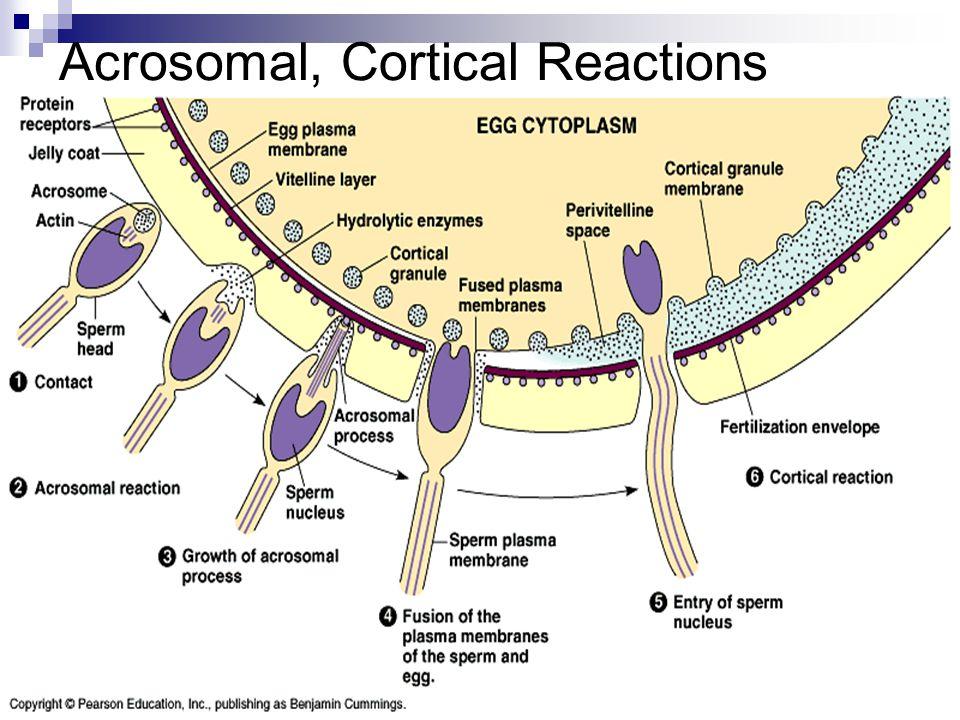 Acrosomal, Cortical Reactions
