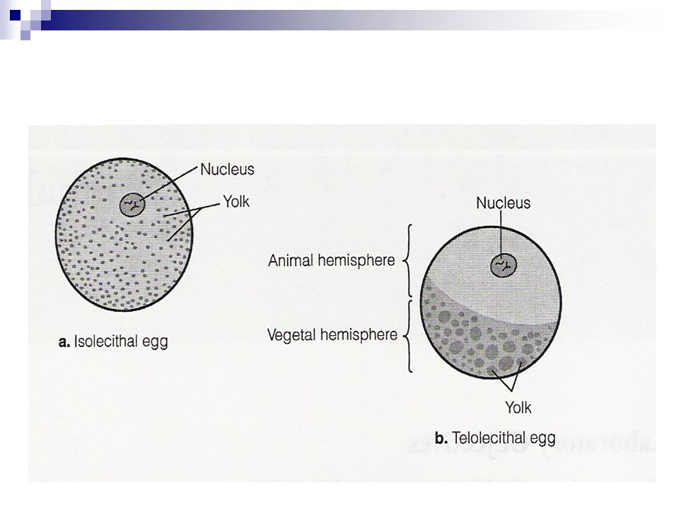 Step 4: Pro-nuclear Fusion Once the second polar body is ejected, the female pronucleus can fuse with the male pronucleus This is the genetic beginning of a new organism The haploid genetic complements of the two pronuclei form a 2N nucleus, which prepares the nucleus, and cell, for cleavage.