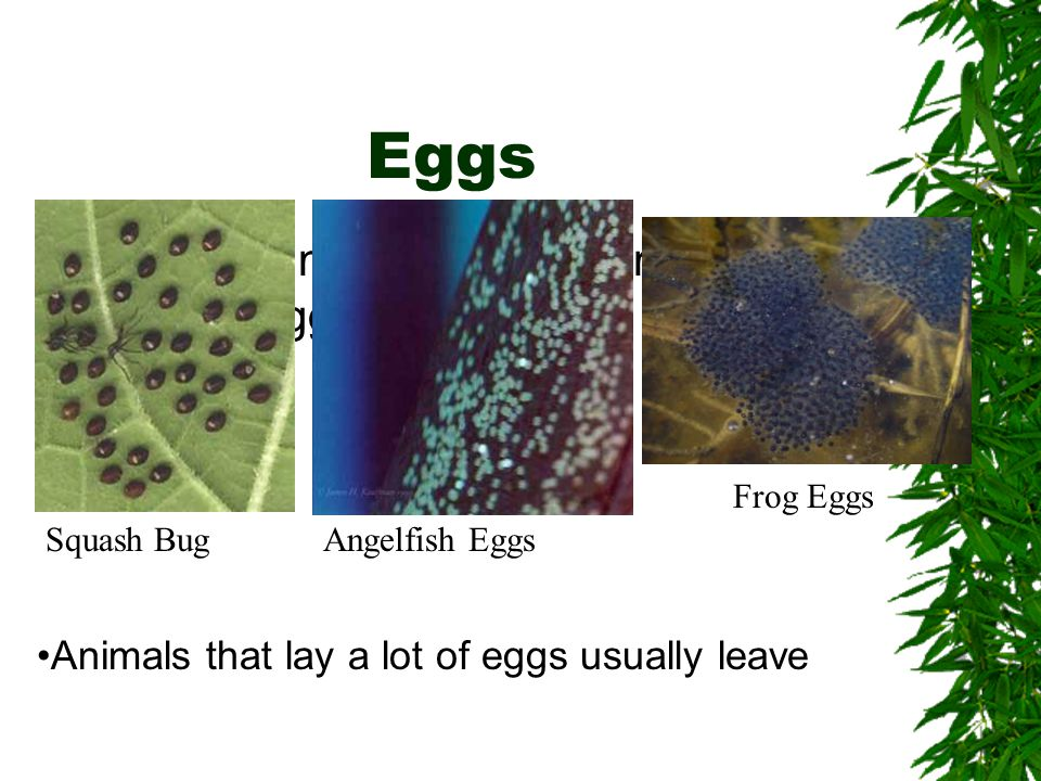 Eggs Different kinds of animals produce different eggs. Squash BugAngelfish Eggs Frog Eggs Animals that lay a lot of eggs usually leave