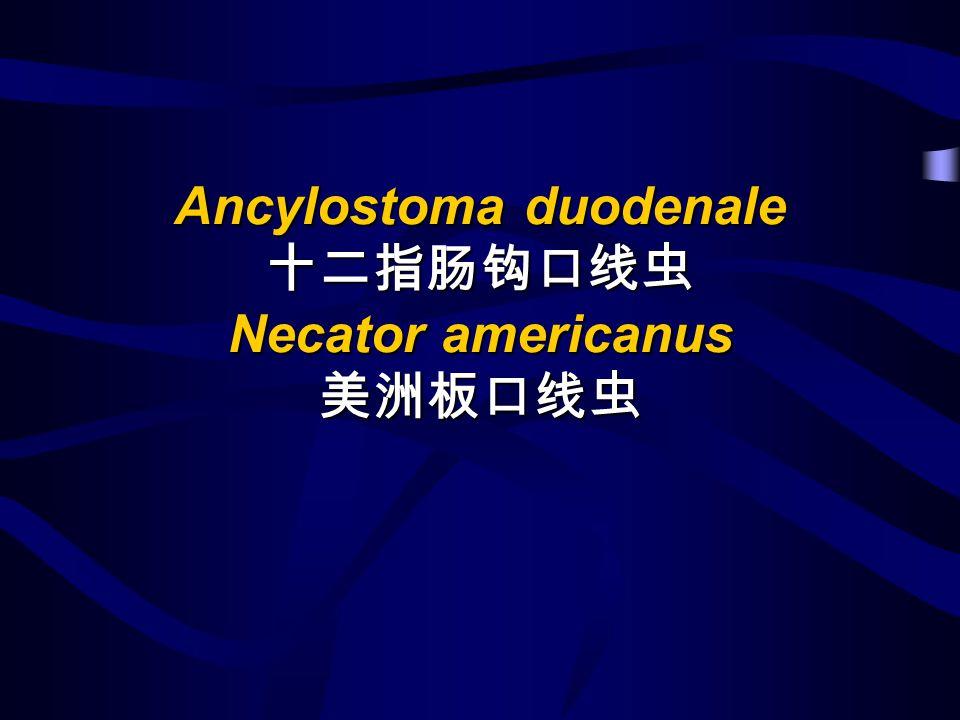 Ancylostoma duodenale Necator americanus Ancylostoma duodenale Necator americanus