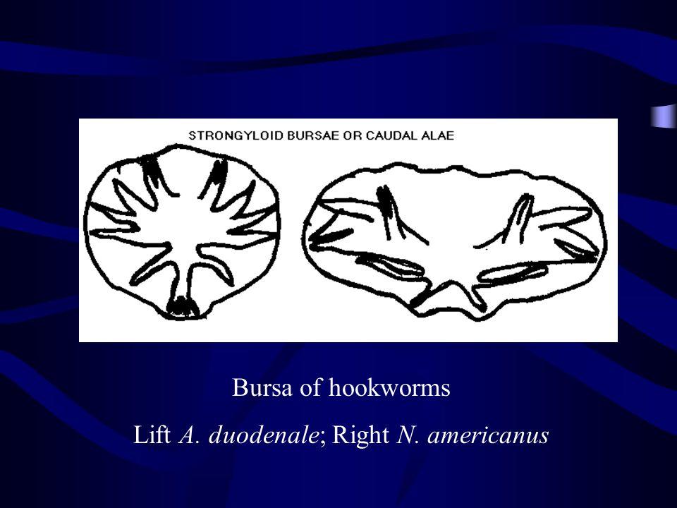 Bursa of hookworms Lift A. duodenale; Right N. americanus