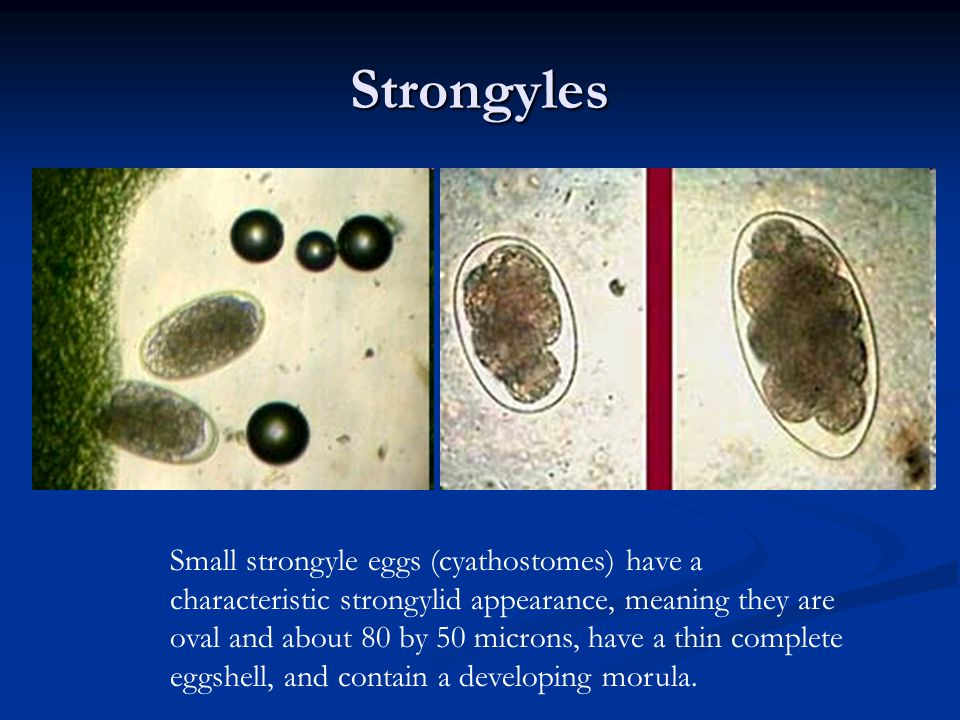 Strongyles Small strongyle eggs (cyathostomes) have a characteristic strongylid appearance, meaning they are oval and about 80 by 50 microns, have a t