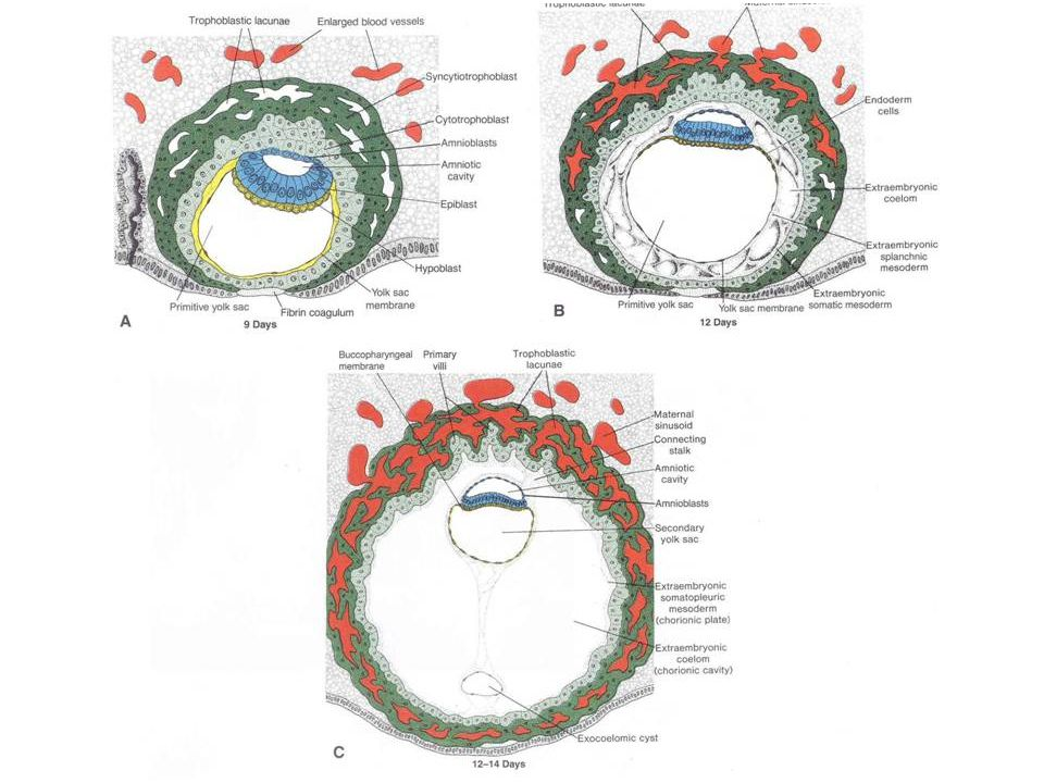 ACCELERATED FORMATION OF THE AMNIOTIC CAVITY Recall that in reptiles and birds, the amniotic cavity forms by a complex pattern of folding of somatopleuric folds.