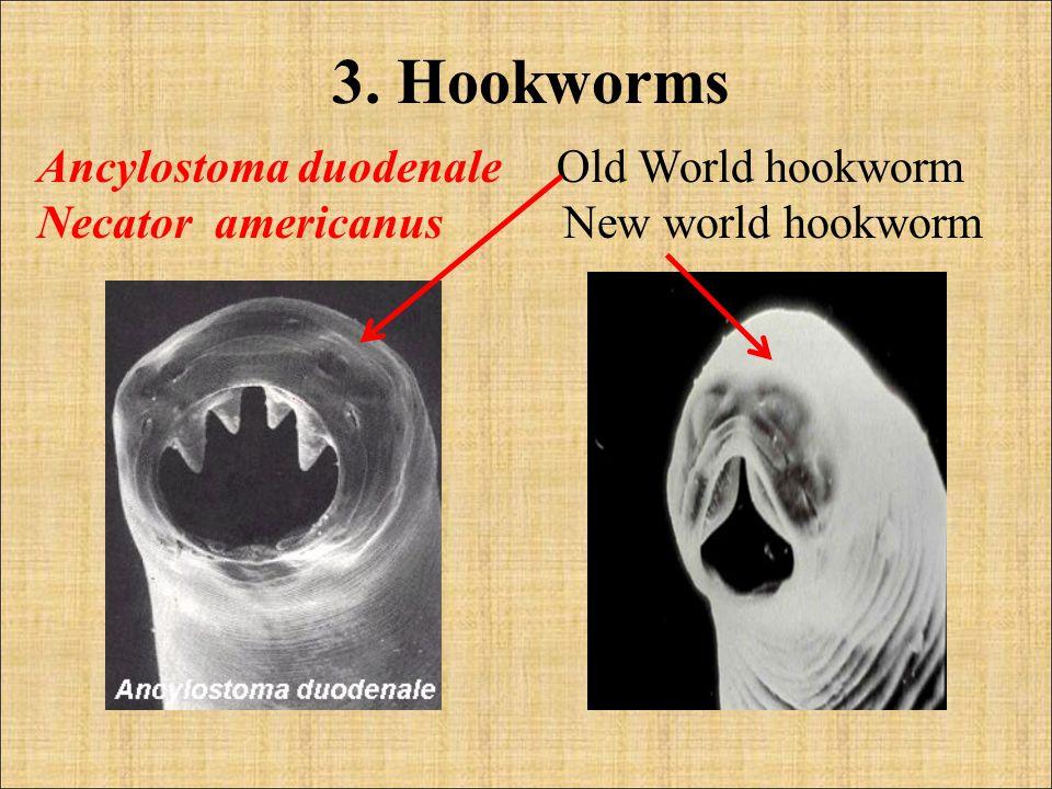 3. Hookworms Ancylostoma duodenale Old World hookworm Necator americanus New world hookworm