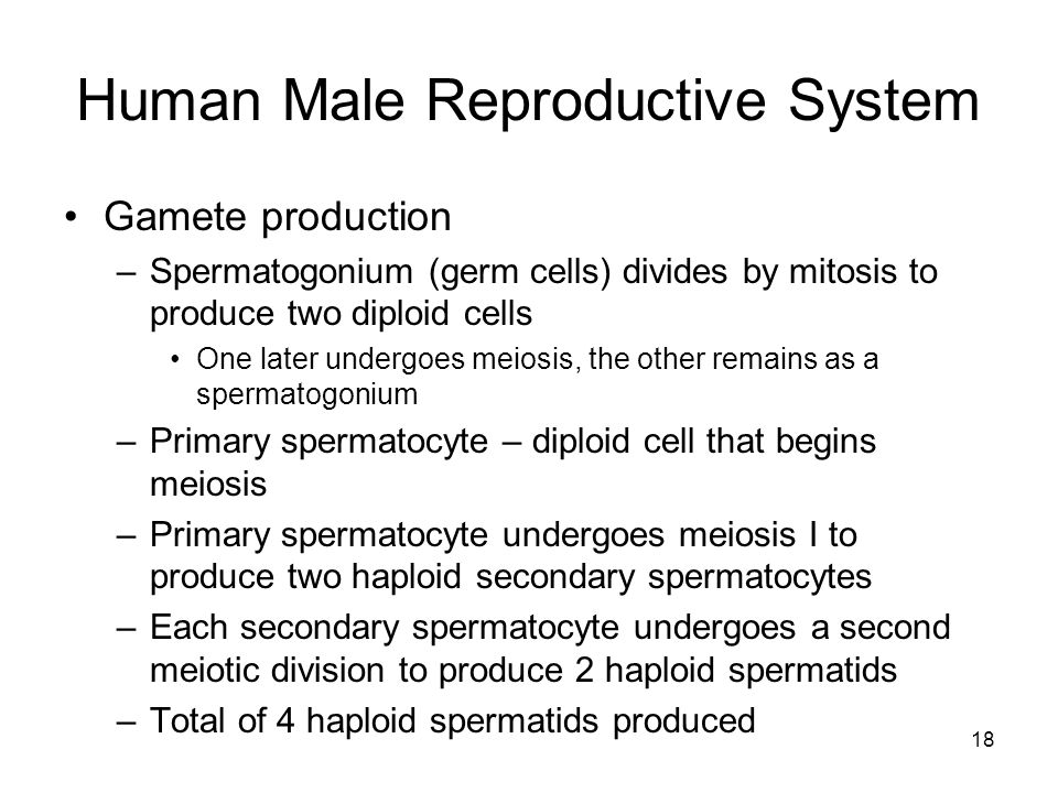 Human Male Reproductive System Gamete production –Spermatogonium (germ cells) divides by mitosis to produce two diploid cells One later undergoes meiosis, the other remains as a spermatogonium –Primary spermatocyte – diploid cell that begins meiosis –Primary spermatocyte undergoes meiosis I to produce two haploid secondary spermatocytes –Each secondary spermatocyte undergoes a second meiotic division to produce 2 haploid spermatids –Total of 4 haploid spermatids produced 18