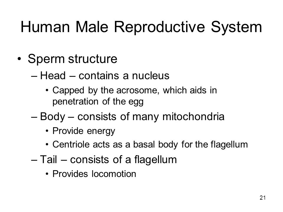 Human Male Reproductive System Sperm structure –Head – contains a nucleus Capped by the acrosome, which aids in penetration of the egg –Body – consists of many mitochondria Provide energy Centriole acts as a basal body for the flagellum –Tail – consists of a flagellum Provides locomotion 21