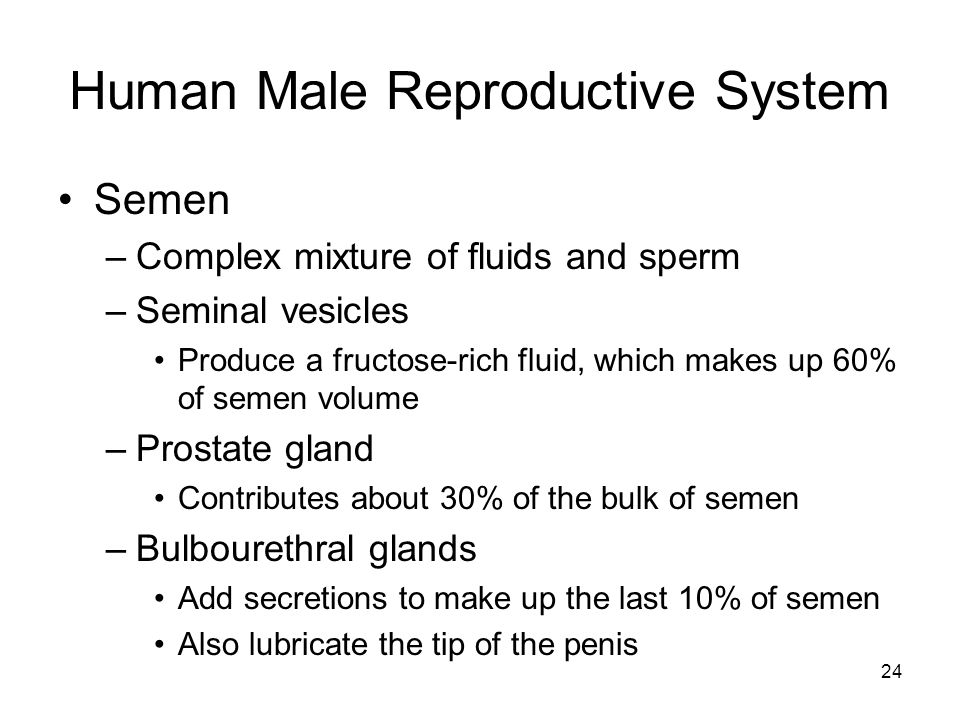 Human Male Reproductive System Semen –Complex mixture of fluids and sperm –Seminal vesicles Produce a fructose-rich fluid, which makes up 60% of semen volume –Prostate gland Contributes about 30% of the bulk of semen –Bulbourethral glands Add secretions to make up the last 10% of semen Also lubricate the tip of the penis 24