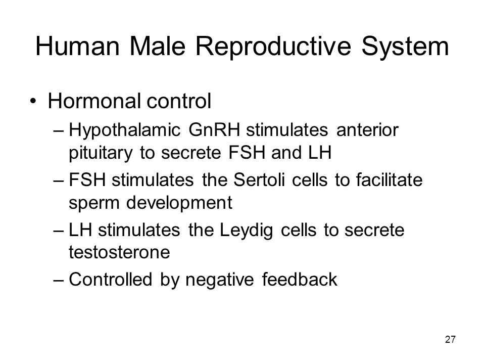 Human Male Reproductive System Hormonal control –Hypothalamic GnRH stimulates anterior pituitary to secrete FSH and LH –FSH stimulates the Sertoli cells to facilitate sperm development –LH stimulates the Leydig cells to secrete testosterone –Controlled by negative feedback 27