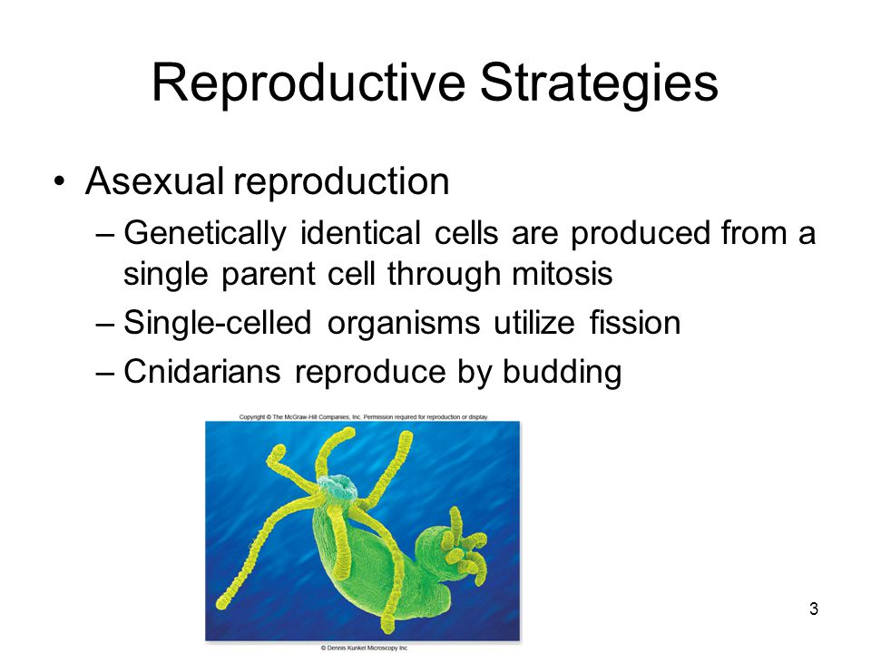 Reproductive Strategies Asexual reproduction –Genetically identical cells are produced from a single parent cell through mitosis –Single-celled organi