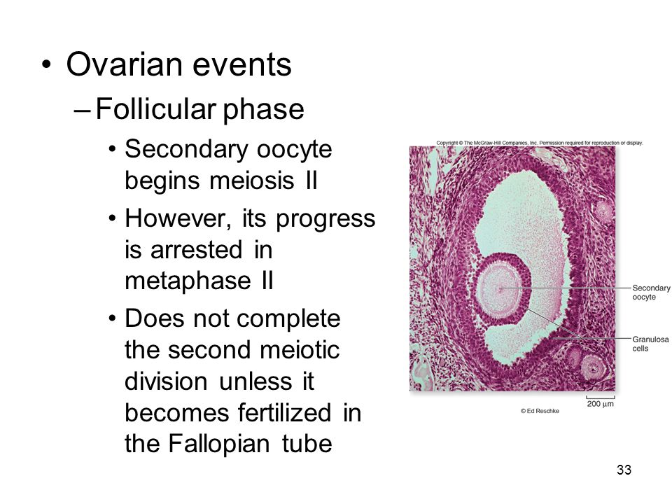 33 Ovarian events –Follicular phase Secondary oocyte begins meiosis II However, its progress is arrested in metaphase II Does not complete the second