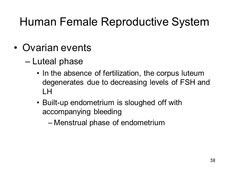 Human Female Reproductive System Ovarian events –Luteal phase In the absence of fertilization, the corpus luteum degenerates due to decreasing levels of FSH and LH Built-up endometrium is sloughed off with accompanying bleeding –Menstrual phase of endometrium 38