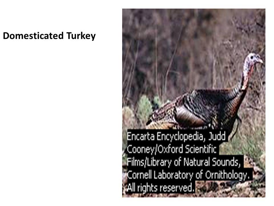 Domesticated Turkey