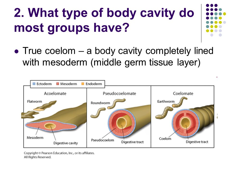 2. What type of body cavity do most groups have? True coelom – a body cavity completely lined with mesoderm (middle germ tissue layer)