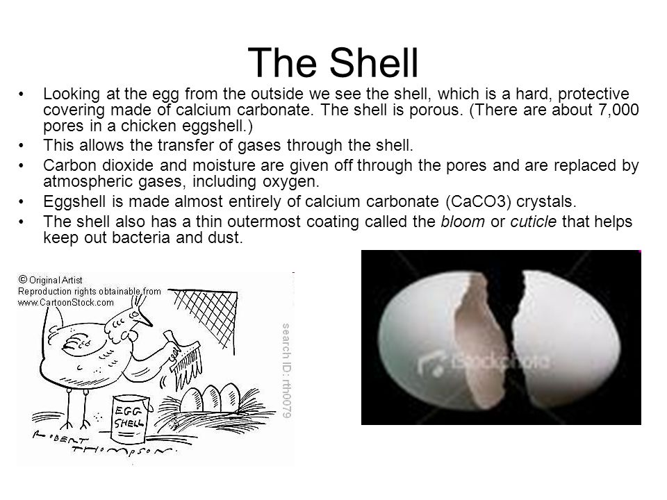 The Shell Looking at the egg from the outside we see the shell, which is a hard, protective covering made of calcium carbonate. The shell is porous. (