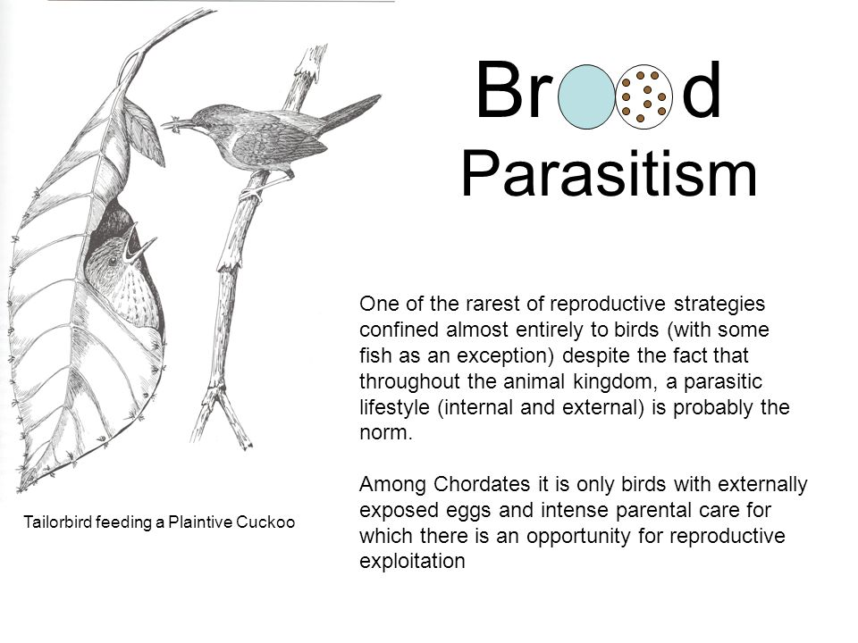 Brd Parasitism One of the rarest of reproductive strategies confined almost entirely to birds (with some fish as an exception) despite the fact that throughout the animal kingdom, a parasitic lifestyle (internal and external) is probably the norm.