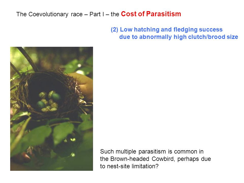 The Coevolutionary race – Part I – the Cost of Parasitism (2) Low hatching and fledging success due to abnormally high clutch/brood size Such multiple parasitism is common in the Brown-headed Cowbird, perhaps due to nest-site limitation