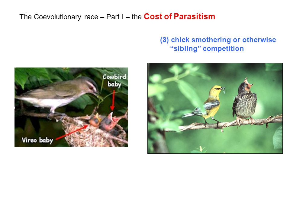 The Coevolutionary race – Part I – the Cost of Parasitism (3) chick smothering or otherwise sibling competition