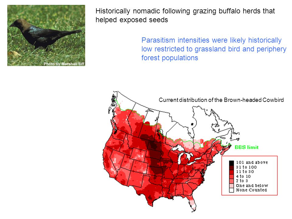 Historically nomadic following grazing buffalo herds that helped exposed seeds Current distribution of the Brown-headed Cowbird Parasitism intensities were likely historically low restricted to grassland bird and periphery forest populations