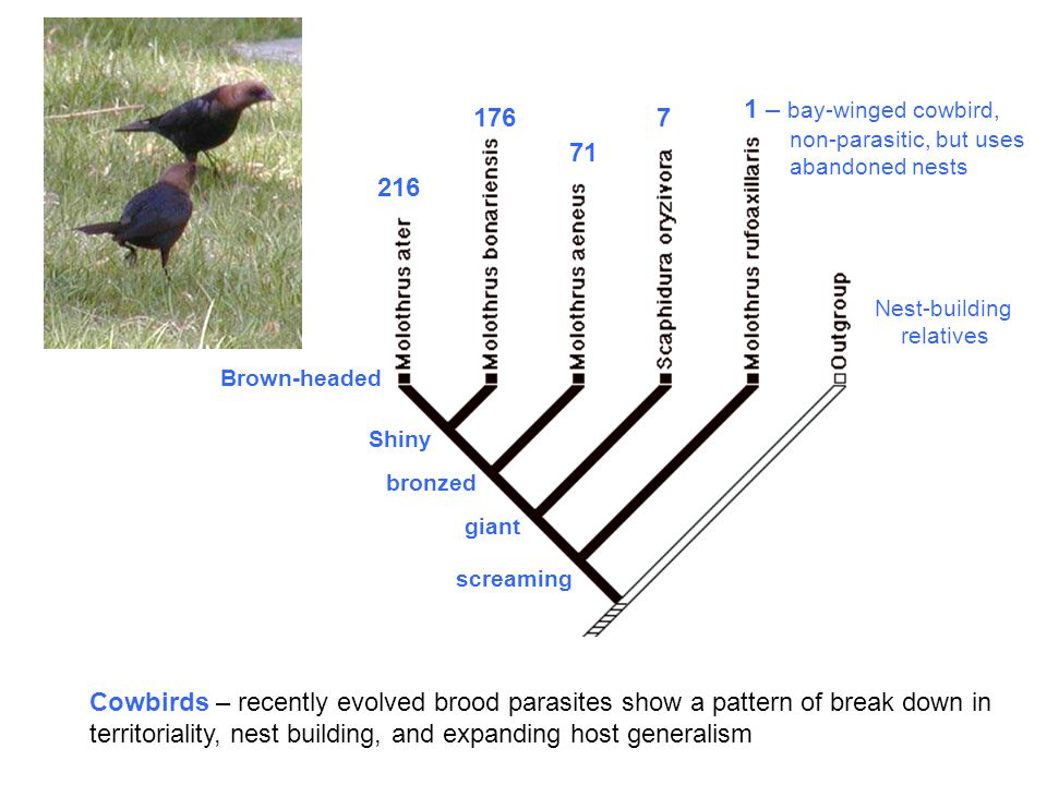 Cowbirds – recently evolved brood parasites show a pattern of break down in territoriality, nest building, and expanding host generalism – bay-winged cowbird, non-parasitic, but uses abandoned nests screaming Shiny bronzed Brown-headed giant Nest-building relatives