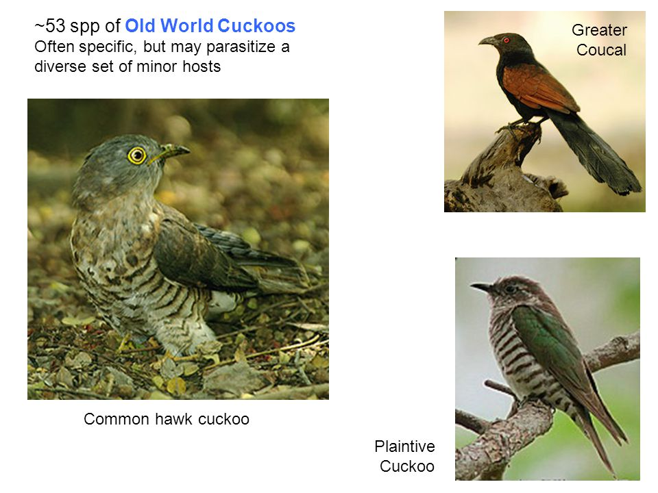 Greater Coucal Common hawk cuckoo Plaintive Cuckoo ~53 spp of Old World Cuckoos Often specific, but may parasitize a diverse set of minor hosts