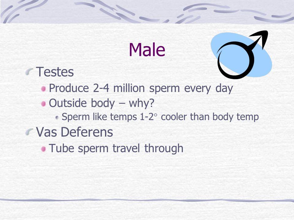 Male Testes Produce 2-4 million sperm every day Outside body – why? Sperm like temps 1-2 cooler than body temp Vas Deferens Tube sperm travel through