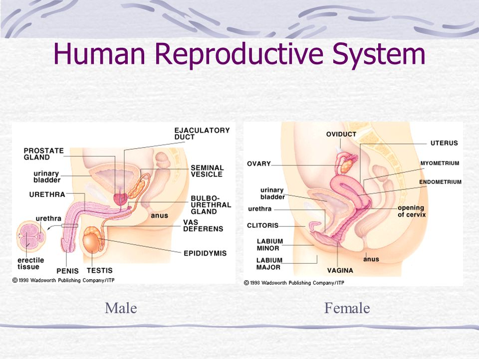 If fertilized… Zygote begins to divide as it travels through oviduct Implants into lining of uterus