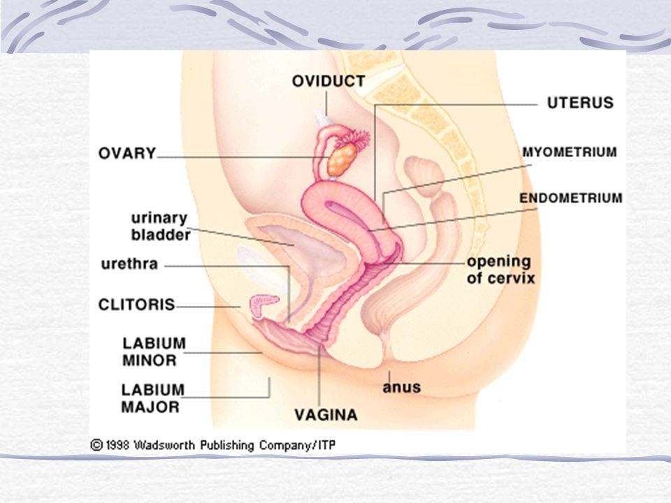 Semen Contains 300-500 million sperm Sperm food pH buffers Allows sperm to survive for a couple of days inside females body