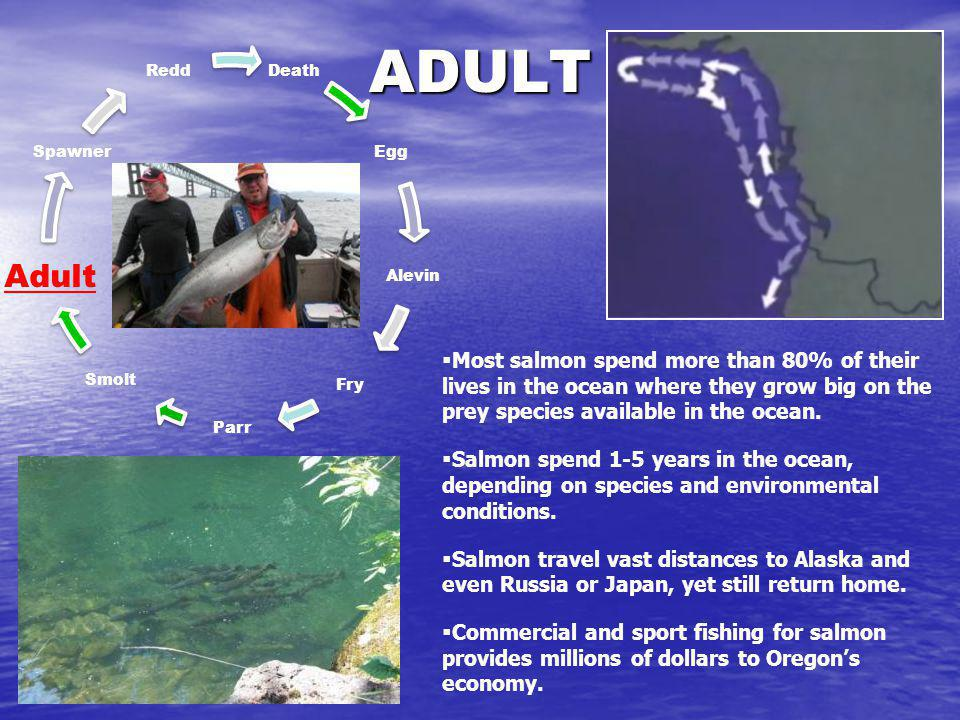 ADULT Death Egg Alevin Fry Parr Smolt Adult Spawner Redd Most salmon spend more than 80% of their lives in the ocean where they grow big on the prey s